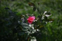 (oskilik) Tags: flowers flower nature rose turkey turkiye gl doa