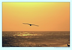 Gull in Sunset Light (lhg_11, 2million views. Thank you!) Tags: beach silhouette gulls malibu southerncalifornia leocarrillostatebeach