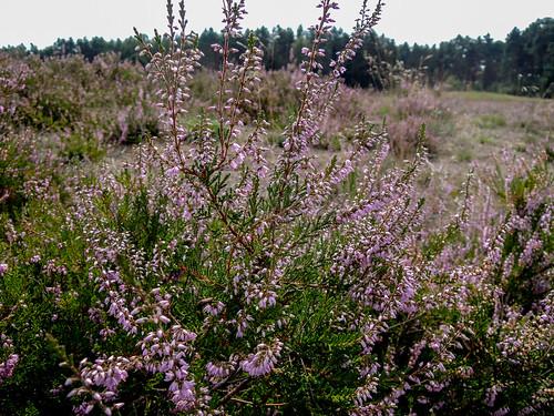 Gifhorner Heide 150830 158.jpg