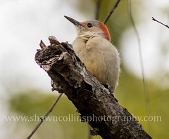 Red Bellied Woodpecker (Shawn Collins Photography) Tags: bird birds pennsylvania cranes pymatuning migration sparrows crawford chickadees crawfordcounty kinglets pymatuningstatepark