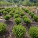 30 Wintergreen boxwood