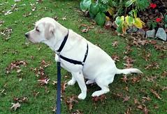 Gracie sat near a rock garden (walneylad) Tags: autumn dog pet cute fall puppy october gracie lab labrador canine labradorretriever