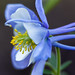 Colorado Columbine - 2nd Place Flora - Frank Zurey