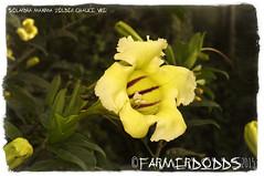 Solandra maxima 'Golden Chalice Vine' (farmer dodds) Tags: mexico royalbotanicgardenedinburgh solanaceae solandra solandramaxima ethnobotanical goldenchalicevine