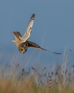 DSC_3028 Short eared owl