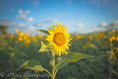 _T4A4824.jpg (林阿King) Tags: morning winter sky cloud mountain flower nature sunshine sunrise skyscape landscape dawn countryside scenery ngc taiwan landmark taichung 台灣 冬 向日葵 台中 花海 新社 日出 晨