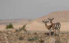 Dorcas gazelles (Gazella dorcas) (Ron Winkler nature) Tags: dorcas gazelles gazella mammal israel negev canon gazellagazella wildlife nature 100400ii specanimal