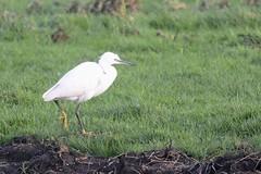 _HNS6339:a Kleine Zilverreiger : Aigrette garzette : Egretta garzetta : Seidenreiher : Little Egret