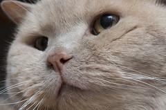 Inquisitive Yogi Bear Our Cat (grahambrown1965) Tags: eye cat nose eyes feline pentax pussy 100mm whiskers whisker puss smcpdfa100mmf28 justpentax pentaxart smcpentaxdfamacro100mmf28wr pentaxk5iis k5iis
