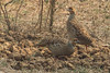 A pair of Partridges.......................perfectly Camouflaged !! (devdosspremkumar) Tags: partridges