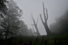 [Couple tree] (Jumping5566) Tags: foggy cypress   21