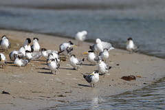 Crested Terns and Gulls (blachswan) Tags: australia victoria portfairy silvergull griffithsisland crestedterns