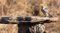 20151103_VictoriaFalls_0272.jpg (eLiL1860) Tags: bird birds victoriafalls vögel vogel simbabwe yellowbilledhornbill tierwelt gelbschnabeltoko safari2015