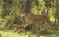 ......heading towards a safe(r) 2016...... (Jambo53 ()) Tags: nature grass backlight cub kenya young natuur savannah happyholidays merrychristmas mammals lioness carnivore tegenlicht predators masaimara leeuwin eastafrica pantheraleo zoogdieren robertkok jambo53 oostafrika