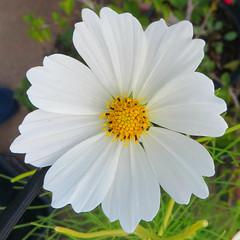 White Cosmos 3 October 2016 1205Ri sq (edgarandron - Busy!) Tags: plants flower flowers cosmos whitecosmos doublefantasy