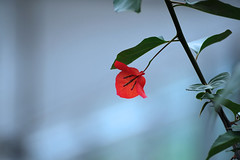 bougainvillea (daniel0027) Tags: bougainvillea redbougainvillea scarlet single aflower flowerofpassion