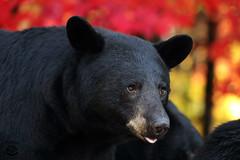 Seeing Red (Megan Lorenz) Tags: blackbear bear sow female animalsinthewild animal mammal nature wild wildlife wildanimals fall autumn redleaves ontario canada mlorenz meganlorenz