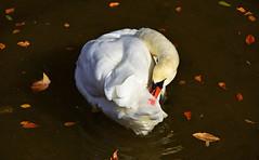 Tourbillon d'automne (Diegojack) Tags: oiseaux lman eau cygnes toilette automne couleurs lit rivire