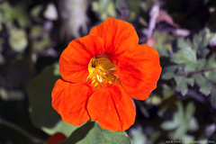 Vivid Orange (Rick & Bart) Tags: domeinkiewit rickvink rickbart canon eos70d nature flower flora hasselt bloom orange