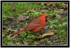 DSC_2849 cardinal with frame (tbullipoo) Tags: red cardinal
