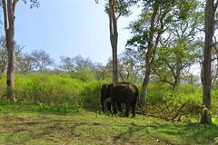 Elephants at Mudumalai (code_martial) Tags: d3300 1685mmf3556gvr roadtrip ooty2016 mudumalai elephasmaximus elephant shotbynazia