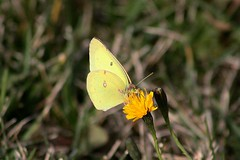 Male Common Sulphur Butterfly Feasting On Cat's Ear Blossom Yet Again 004 - Colias Philodice (Chrisser) Tags: insects insect butterflies butterfly commonsulphur coliasphilodice nature ontario canada canoneosrebelt1i canonef75300mmf456iiiusmlens pieridae