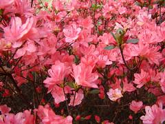 AZALEE rose le 25 mars - Hacienda. (01937100-Thanks for your 2 MILLIONS visits.) Tags: rose printemps jardin