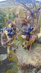 Aprs les vendanges - Volnay - Cte d'Or - Bourgogne - Automne 2016 (jeanyvesriou1) Tags: ceps vendanges raisins vignoble vignes volnay bourgogne burgundy