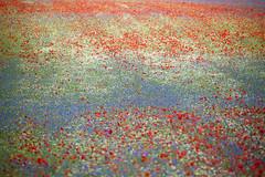 ...fioritura (Lucky Lu62) Tags: castellucciodinorcia fioritura lenticchie fiori colori colors red flowering
