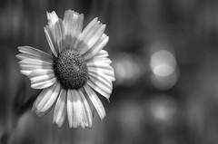 Daisie (hequebaeza) Tags: naturaleza nature florasilvestre vegetacin vegetation flores flowers ptalos blanco white amarillo yelow petals margaritas daisies bw monocromo nikon d5100 nikond5100 55200mm hequebaeza