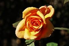 Rose (Hugo von Schreck) Tags: hugovonschreck rose blume flower macro makro blte outdoor canoneos5dsr tamron28300mmf3563divcpzda010