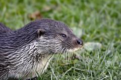 European otter (mikedoylepics) Tags: otter otters europeanotter animals britishwildlife british britishwildlifecentre d750 lingfield mammals nature nikon nikond750 surrey wildlife b