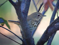 Hermit thrush (Goggla) Tags: nyc new york east village tompkins square park urban wildlife bird hermit thrush hermitthrush