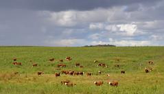 Treinta y Tres, Uruguay (Eduardo Amorim) Tags: ternero terneiro calf vaeu bezerro gado ganado cattle btail bestiami vieh vaca cow vache mucca kuh boi buey ox boeuf mue rind vacas cows vaches mucche khe bois bueyes oxen boeufs buoi rinder touro toro bull taureau stier touros toros bulls taureaux tori stiere hereford treintaytres campo field pampa campanha uruguay uruguai sudamrica sdamerika suramrica amricadosul southamerica amriquedusud americameridionale amricadelsur americadelsud