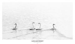 Laulujoutsenet (mattisj) Tags: anatidae anseriformes aves birds cygnuscygnus elimet fglar laulujoutsen linnut sorsalinnut sorsat sngsvan tornionjoki whooperswan