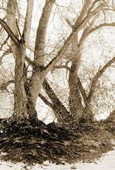 Two Trees (waldland) Tags: trees sepia highkey roots bark monochrome composite