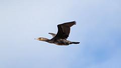 Cormorant (NickWakeling) Tags: cormorant birds norfolk nature northnorfolk salthouse canon60d canonef400mmf56lusm wildlife