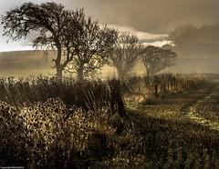 Teasels in the mist. (AlbOst) Tags: teasels misty mistymorning trees fields landscapes sepia