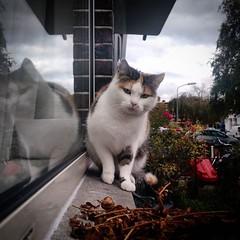 mooie buurpoes (milov) Tags: instagram phonecam motox fbme tweetme animals cats voorburg cute buurpoes paws square reflection windowsill lapjeskat portrait
