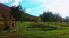 Agroforestry (dimitris1914) Tags: agforward fp7 agroforestry nature agriculture barley prunusavium juglansregia euraf askio westmacedonia