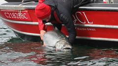 60626377 (QCL Shooter) Tags: qcl haidagwaii bcfishing salmon sportfishing queencharlottelodge fishingfirstclass adventure chinook halibut cr catchrelease