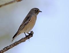 Western Bluebird (noellejorge) Tags: woodleypark birding smallbird bird bluebird westernbluebird