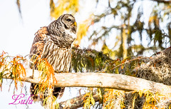 Barred Owl (lh24smile) Tags: yellow barred owl blue cypress lake