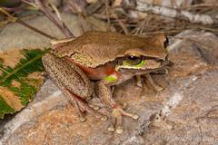 Blue Mountains Frog (Litoria citropa) (JLoyacano) Tags: australia frog jacobloyacano litoriacitropa amphibian anura bluemountains bluemountainsfrog herp herping litoria wildlife