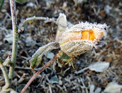 first frost (Eisgräfin (very busy)) Tags: frost flower rose november blume eiskristalle stadtpark hannover germany eisgräfin