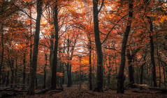 Autumn Symphony (Tom Birtchnell) Tags: autumn fall leaves trees woodland woods landscape outdoors colourful london england uk forest