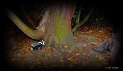 Badger World (Alan Woodgate) Tags: badger wild mammal autumn nature