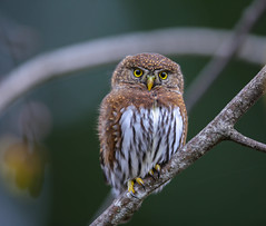 Northern Pygmy Owl (Khanh B. Tran) Tags: