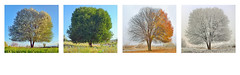 4seasontrees (BoKauffmann) Tags: seasonal season tree winter summer all autumn spring life weather one year hill lone lonely sky scene snow outdoor panorama cold clear montage agriculture green yellow four change bare grass annual rural single land natural white cloud dream leaf bright process growth blue plant nature landscape romania