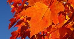 orange maple leaf in our tree (Martin LaBar) Tags: southcarolina pickenscounty leaves leaf maple autumn fall otoo color orange acer sapindaceae